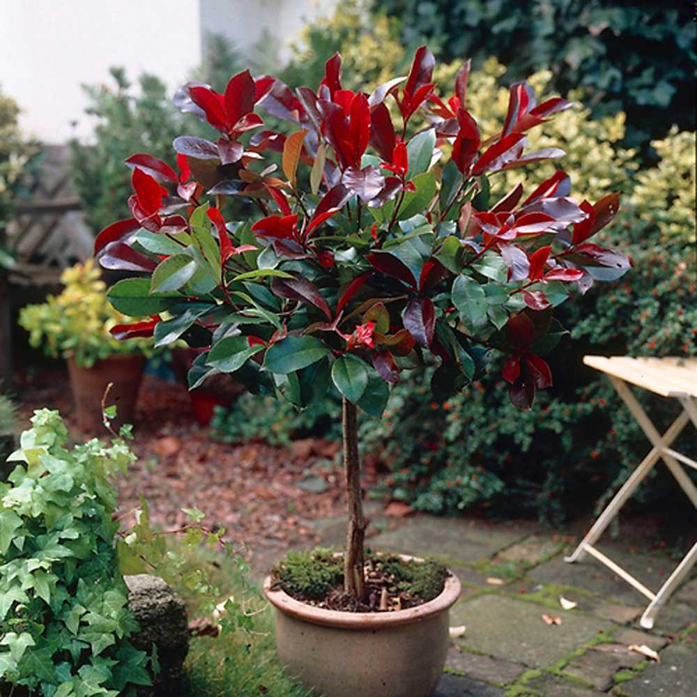 photinia red robin standard tree 1 metre tall grattan. Black Bedroom Furniture Sets. Home Design Ideas